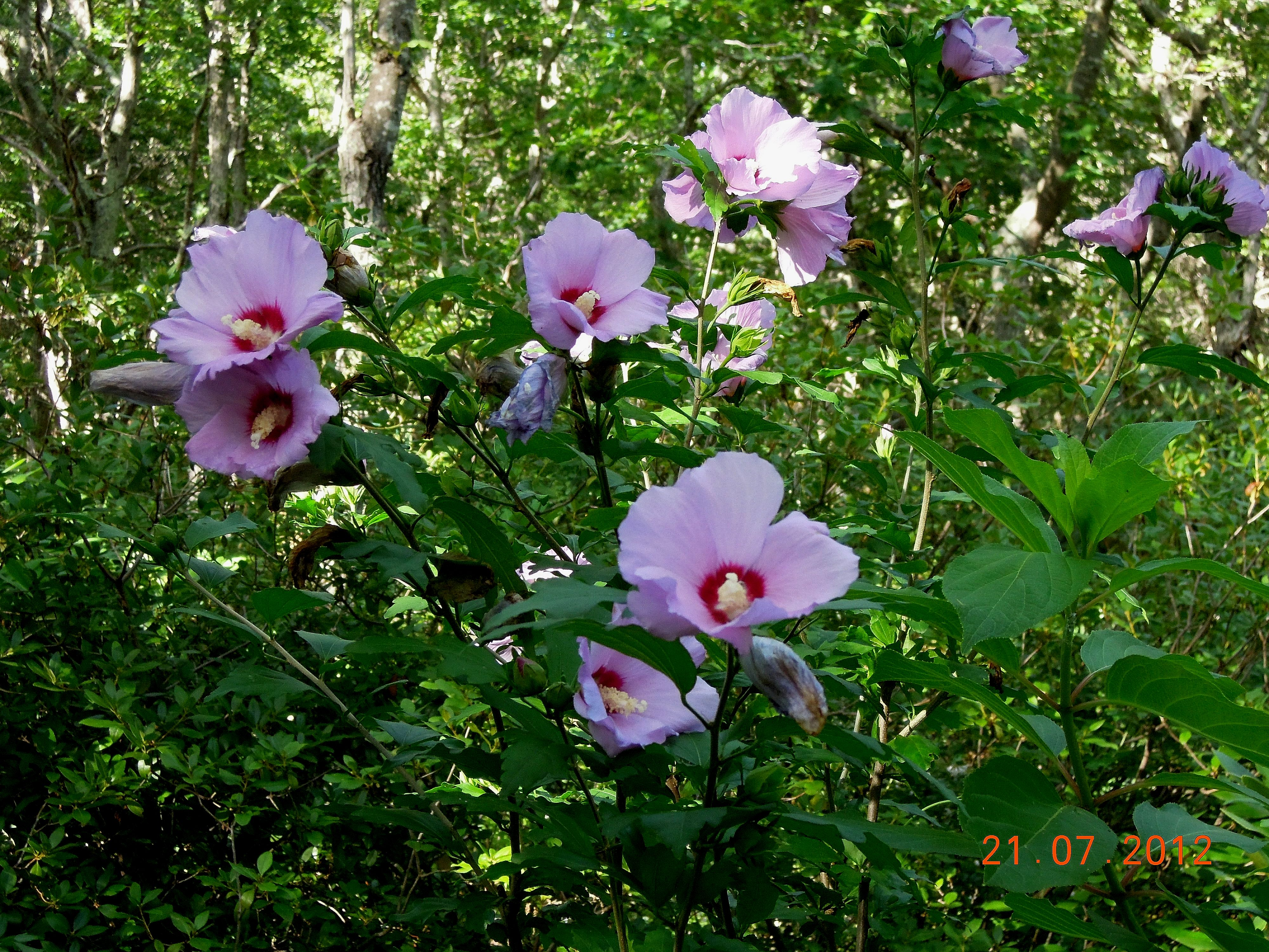 Summer 2012: Rose-of-Sharon (Hibiscus syriacus)   floragloria
