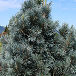 Pinus cembra 'Big Blue'