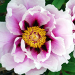 Paeonia 'Guardian of the Monastery'