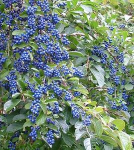 Symplocos paniculata (Sapphireberry)