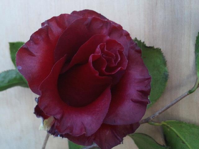 Credit Camellia Forest Nursery