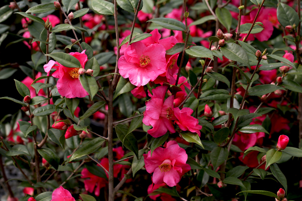 Credit Camellia Forest Nursery