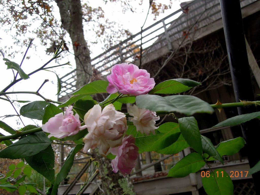 erica darleyensis spring surprise