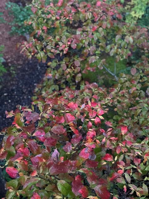 dogwood in Fall